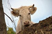 Cows In The Pasture. White Cattle Living Outdoors In Nature. Meat Breed. poster