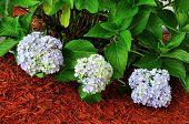 Hydrangea Macrophylla Plant