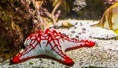 African Red Knob Sea Star In Closeup, Tropical Ornamental Aquarium Pet, Starfish Specie From The Ind poster