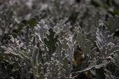 Silver Flower Jacobaea Maritima. Texture Background Plant With Silver Leaves Jacobaea Maritima. Exot poster