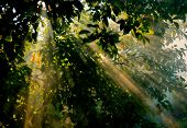 Green Tree Leaves With Sun Rays In Foggy Morning Forest. Close-up Sun Light Beams In Green Foliage I poster