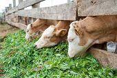 Calves Eat Grass