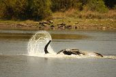 African Bush Elephant (loxodonta Africana) Drinking, Swimming And Splash Water. Elephant In Water. E poster