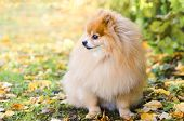 Beautiful Little Fluffy Pomeranian On The Autumn Natural Background At Sunset. Dog Obedience And Tra poster