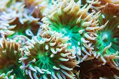 Whisker Coral Closeup. Monotypic Genus Of Stony Corals. Marine Aquarium poster