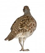 picture of hungarian partridge  - Grey Partridge - JPG