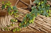 foto of bine  - Still Life With Beer Barley And Hops - JPG