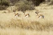 Springbok Steppe