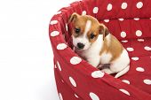Red spotted empty pet bed with little Jack Russel puppy