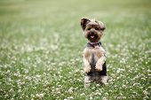 stock photo of yorkie  - Cute dog sitting up in a field - JPG