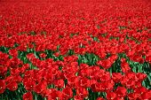 red pattern of tulips