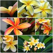 Yellow  Orange Frangipani Montage