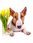 stock photo of bull head  - English bull terrier - JPG