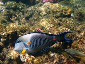 Sohal Surgeonfish And Reef