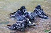 Pigeons In The Pond