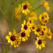 Alabama Coreopsis Tinctoria Wildflowers