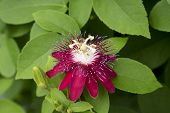 Passiflora (lady Margaret)