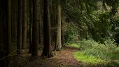 picture of coniferous forest  - Dark mystical quiet coniferous forest with feeling of solitude