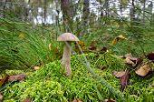Boletus Scaber (leccinum Scabrum) On The Marsh Hillock