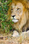 Lion, Male. Kruger National Park, South Africa