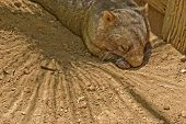 picture of wombat  - a close up of a resting wombat - JPG