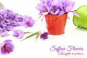 Saffron flowers on white background