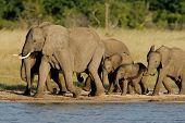 Herd of African elephants (Loxodonta africana) at a waterhole, Hwange National Park, Zimbabwe