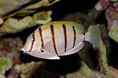 Underwater view of a Convict Surgeonfish or Manini (Acanthurus triostegus)