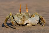 Alert ghost crab (Ocypode spp.) on the beach, Mozambique, southern Africa
