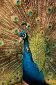 Colorful male peacock (Pavo cristatus) displaying