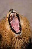 Portrait of a yawning male African lion (Panthera leo), Kalahari, South Africa