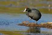 A redknobbed coot (Fulica cristata) standing on floating vegetation, South Africa
