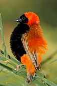 Male red bishop bird (Euplectes orix) displaying with puffed feathers, South Africa