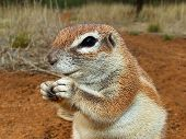 Close-up of a feeding ground squirrel (Xerus inaurus), Kalahari desert, South Africa