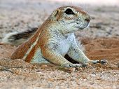 Close-up of a ground squirrel (Xerus inaurus) emerging from his burrow, Kalahari desert, South Afric