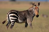 Endangered Cape Mountain Zebra (Equus zebra), Mountain Zebra National Park, South Africa