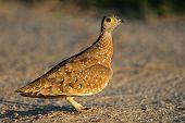 Spotted or Burchells sandgrouse (Pterocles burchelli), Kalahari desert, South Africa