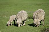 Merino sheep grazing on lush green pasture