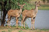 Two female kudu antelope (Tragelaphus strepsiceros), South Africa