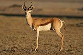 A springbok antelope (Antidorcas marsupialis), Kalahari desert, South Africa