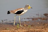 White-crowned lapwing (Vanellus albiceps), Kruger National Park, South Africa