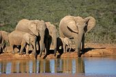 African elephants (Loxodonta africana) drinking water at a waterhole, Addo Elephant park, South Africa