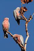 Galah Cockatoos (Cacatua roseicapilla), Kakadu National Park, Northern territory, Australia