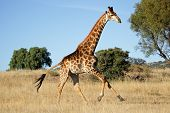 Giraffe (Giraffa camelopardalis) running on the African plains, South Africa