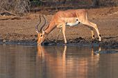 Male impala antelope (Aepyceros melampus) drinking water at a waterhole, Kruger National Park, South Africa