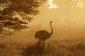 Ostrich (Struthio camelus) in dust, early morning, Kalahari desert, South Africa