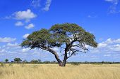 African landscape with a beautiful Acacia tree (Acacia erioloba), Hwange National Park, Zimbabwe, so