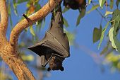 Black flying-fox (Pteropus alecto) hanging in a tree, Kakadu National Park, Northern territory, Aust