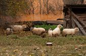Sheep Near Polluted Lake