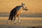 Brown hyena (Hyaena brunnea) in early morning light, Kalahari desert, South Africa